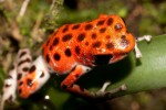 red-frog
